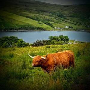 Highlands Cow (6)