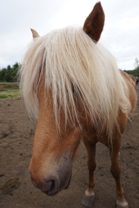 Randonnée à dos de cheval Islandais (16)