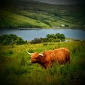 Highland cow, Écosse
