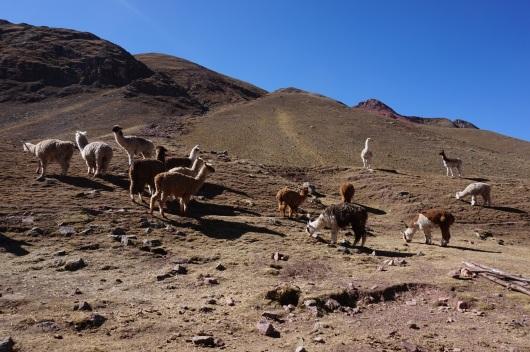 Montagnes colorées Vinicunca (108)