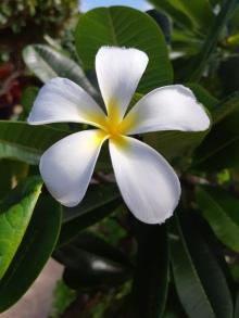 Plumeria, une autre fleur bien connue à Hawaii