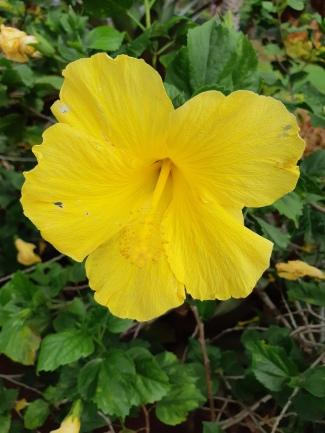 Hibiscus jaune...la fleur typique d'Hawaii